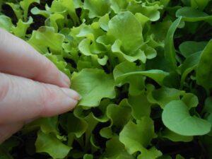 Дрожжевая подкормка листовой зелени на подоконнике. Как вырастить салат и рукколу в домашних условиях?